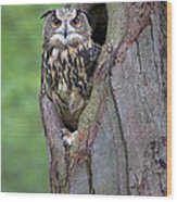 Eurasian Eagle-owl Bubo Bubo Looking Wood Print