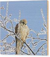 Eurasian Kestrel Falco Tinnunculus Wood Print