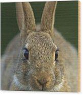 European Rabbit Oryctolagus Cuniculus Wood Print