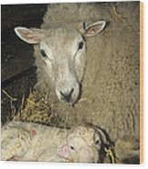 Ewe And New Born Lamb Wood Print