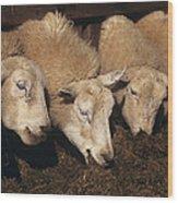 Ewes Feeding Wood Print