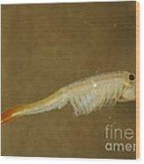 Fairy Shrimp Thamnocephalus Platyrus Wood Print