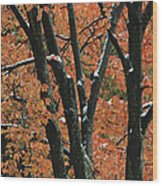 Fall Foliage Of Maple Trees After An Wood Print