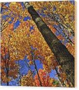 Fall Maple Trees Wood Print by Elena Elisseeva