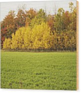 Fall Poplars Wood Print