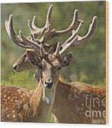 Fallow Deer Dama Dama Stags Wood Print