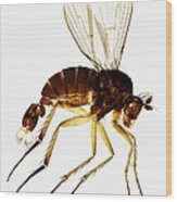 Fan-tail Fly, Light Micrograph Wood Print
