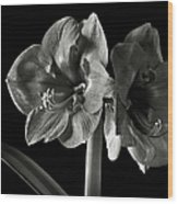 Fancy Amaryllis In Black And White Wood Print