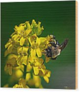 Fanfare For The Common Bumblebee Wood Print