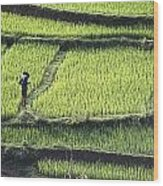 Farmer In Rice Paddy, Elevated View Wood Print