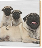 Fawn Pugs, Mother And Pups Wood Print