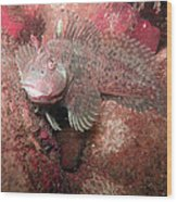 Feather Blenny Female Wood Print