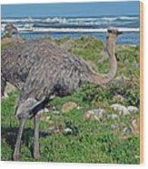 Feathers By The Sea Wild Female E African Ostrich Southern Race Cape Of Good Hope South Africa Wood Print