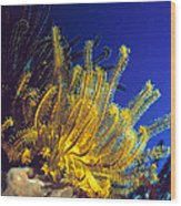 Featherstars On Coral Wood Print
