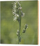 Feathery Reed Canary Grass Vignette Wood Print