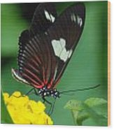 Feeding Butterfly Wood Print