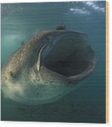 Feeding Whale Shark, La Paz, Mexico Wood Print