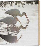 Feeding White Ibis Wood Print