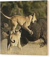 Female African Lions Pounce On An Wood Print by Beverly Joubert