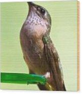 Female Calliope Hummingbird Wood Print
