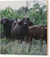 Female Cape Buffalo Syncerus Caffer Wood Print