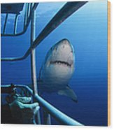 Female Great White And Underwater Wood Print