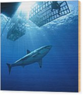 Female Great White With Cages Wood Print