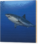 Female Great White With Remora Wood Print