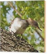 Female Hooded Merganser Wood Print