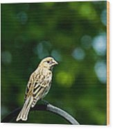 Female House Finch Perched Wood Print