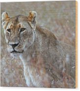 Female Lion Portrait Wood Print