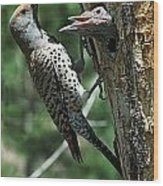 Female Northern Flicker Colaptes Wood Print
