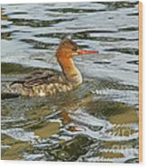 Female Red Breasted Merganser In The Spring Wood Print