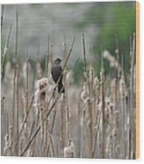 Female Redwinged Blackbird Wood Print