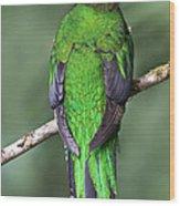 Female Resplendent Quetzal - Dp Wood Print