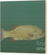 Female Smallmouth Bass Wood Print