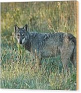 Femle Gray Wolf In The Morning Light Wood Print