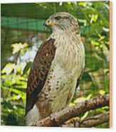 Ferruginous Hawk Wood Print