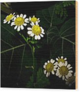 Feverfew In Bloom Wood Print