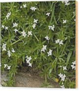 Field Madder (sherardia Arvensis) Flowers Wood Print