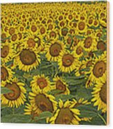 Field Of Domestic Sunflowers Wood Print by Kenneth M Highfill and Photo Researchers