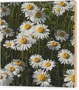 Field Of Oxeye Daisy Wildflowers Wood Print