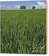 Field Of Wheat. Auvergne. France. Europe Wood Print