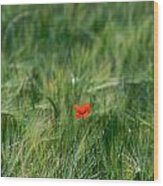 Field Of Wheat With A Solitary Poppy. Wood Print