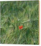Field Of Wheat With A Solitary Poppy. Wood Print by Bernard Jaubert