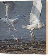 Fighting Gulls Wood Print