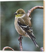 Finch In An Ice Storm Wood Print