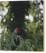 Finch In The Willow Wood Print
