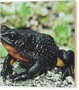 Fire-bellied Frog Atelopus Ignescens Wood Print