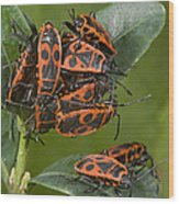 Firebugs Mating Wood Print